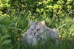 Im Grnen (1/2) (Vasquezz) Tags: katze cat sibirischekatze sibirische sibirisch siberiancat waldkatze forestcat    garten garden grn green fussel siberian kittysuperstar coth coth5 bestofcats catmoments vg~catsgallery kittyschoice sunrays5 alittlebeauty fantasticnature hellopussycat