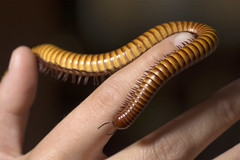 Millipede (Jorge Ibarra L.) Tags: macro animal bug insect millipede insecto milpies