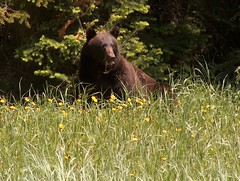 Brown Coloured Black Bear (ArcticCoyote) Tags: bear canada wildlife blackbear 2007 knp kootenaynationalpark