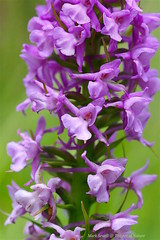A closer look at the Chalk fragrant Orchid - Gymnadenia conopsea (favmark1) Tags: kent orchids wildorchids gymnadeniaconopsea britishorchids chalkfragrantorchid kentorchids