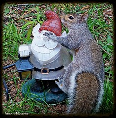 Gray Squirrel and the Garden Gnome (--Anne--) Tags: cute love nature animal animals gnome squirrel squirrels kiss wildlife graysquirrel