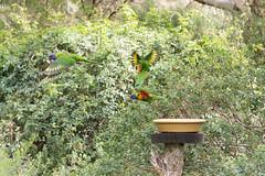 20160327-133624_AdelaideNationals2016_D7100_2199.jpg (Foster's Lightroom) Tags: birds au australia adelaide southaustralia lorikeets zoos cleland crafters clelandwildlifepark
