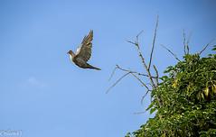 En avant pour le grand saut... (Crilion43) Tags: arbres france vreaux divers ciel centre paysage nuages tourterelle oiseaux canon cher bleue charbonnire msange nature pigeons ramier rflex sapin thuya