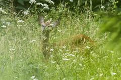 Stirna / Capreolus capreolus / Roe Deer (Jonas Juodišius) Tags: roedeer lithuania vilnius lietuva capreoluscapreolus stirna mažiejigulbinai vanaginė