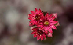 flower 543 (kaifudo) Tags: flower macro japan sapporo nikon hokkaido sigma  d750 botanicalgarden  sempervivum 150mm   sigmaapomacro150mmf28