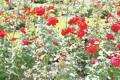 11879032_10153099669492076_3133906500035569086_o (jmac33208) Tags: park new york roses rose garden central schenectady
