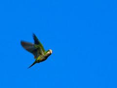 (Adisla) Tags: olympus em1 zuiko 150mm f2 mc14 ave volar cotorra argentina