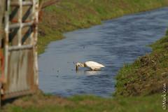 Mark Kras-Lepelaar-IMG_5819.jpg (markkras-fotografie) Tags: birds animals fauna nederland vogels aves nl dieren lepelaar platalealeucorodia eurasianspoonbill