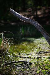 spring at Harris Lake 10 (furrycelt) Tags: trees lake nature water forest spring woods nikon natural 85mm northcarolina bark stump april d600 harrislake nikon85mmf14 newhillnc nikon85mmf14afd shearonharrisreservoir lensblr furrycelt photographersoftumblr jianwilson
