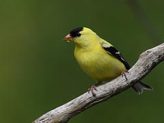 Chardonneret jaune  American Goldfinch (sylprince) Tags: chardonneret goldfinch sigma150600c