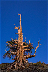 14100096 (Greg Vaughn) Tags: california travel trees usa west tree nature america landscape outdoors one ancient dusk scenic whitemountains pines age american solo western strength longevity aging forests sturdy survivor hardy sentry bristleconepine usfs usforestservice inyonationalforest inyocounty ancientbristleconepineforest patriarchgrove 14100096