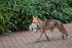 Two Rabbit Dinner (jimoftheday) Tags: york rabbit yorkshire fox universityofyork heslington canonef135mmf2lusm yorksciencepark