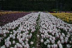 DSC_3969 (Copy) (pandjt) Tags: ca flowers canada bc britishcolumbia tulip abbotsford tulipfestival abbotsfordtulipfestival