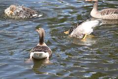 Lente Ganzen (Omroep Zeeland) Tags: ganzen