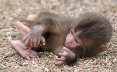 Japanese macaque artis JN6A9731 (j.a.kok) Tags: artis macaque japanesemacaque makaak japansemakaak