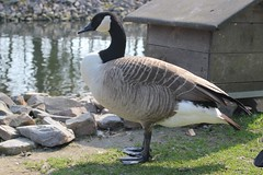 Canada Goose (Branta canadensis) (Frankhuizen Photography) Tags: fauna canadagoose brantacanadensis weert grotecanadesegans