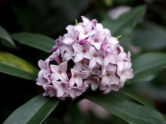 Winter Daphne 1 (Daphne odora) (firebird39) Tags: flower   jinchouge chinchouge