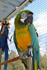 Come no closer she's mine - DJ and Savannah (RLBrinkman~in and out-mostly out) Tags: birds macaw pars parrots greenwingmacaw parrotsr4ever