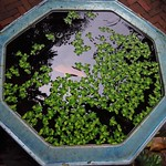 "Floating Plants in Jim Thompson House Garden <a style=""margin-left:10px; font-size:0.8em;"" href=""http://www.flickr.com/photos/14315427@N00/6930451552/"" target=""_blank"">@flickr</a>"