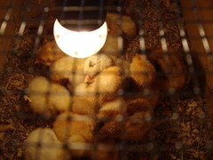'Cause you keep me warm; (Iridescentmind;) Tags: light birds animals warm together chicks calore animali luce pulcini