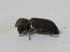 Bostrichidae>Heterobostrychus aequalis Lesser Auger Beetle DSCF87311 (Bill & Mark Bell) Tags: exmouth westernaustralia australia geo:town=exmouth geo:state=westernaustralia geo:country=australia geo:lon=11425453egeolat2217752sgeoalt8m 11425453e2217752salt8m taxonomy:kingdom=animalia animalia phylumarthropoda taxonomy:order=coleoptera coleoptera taxonomy:family=bostrichidae bostrichidae taxonomy:genus=heterobostrychus heterobostrychus taxonomybinomialnameheterobostrychusaequalis heterobostrychusaequalis taxonomycommonnamelesseraugerbeetle lesseraugerbeetle animal fauna aequalis beetle
