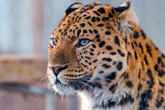 Calm and attentive leopard (Tambako the Jaguar) Tags: wild portrait cute beautiful face cat zoo switzerland big nikon calm leopard resting amur gossau walterzoo d700