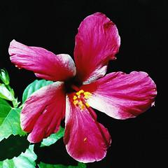 Hibiscus Flower, Moorea, French Polynesia