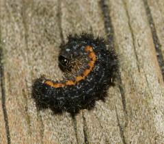 Caterpillar (bramblejungle) Tags: garden moth caterpillar larva eilema lurideola commonfootman nationalmothweek