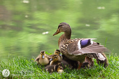 Mama Duck and Ducklings (t.sullivan photography) Tags: cute duck pond babies wildlife mother ducks ducklings mallard mothersday edithjcarrierarboretum