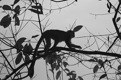 In the silhouette of a monkey (pdh96) Tags: blackandwhite costa white black tree monkey squirrel costarica pentax rica foliage bandw manuelantonio squirrelmonkey pentaxk5