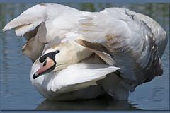 CIGNO REALE - Cygnus olor (ric.artur) Tags: bird nature nikon natura ali uccelli piemonte palude animali racconigi cigno naturalmente lipu volatili naturae anatidi naturaee