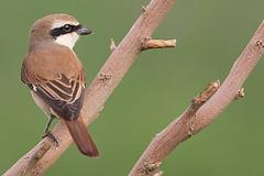 Kuwait's Birds (HANI AL MAWASH) Tags: art animal photo al kuwait hani  1color artphoto      animalkingdomelite mywinners  aplusphoto kuwaitphoto   almawash almwash kuwaitartphoto kuwaitart  mawash