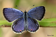Tapestry of a Pious Dream (Explored) (Ramen Saha) Tags: butterfly easterntailedblue everescomyntas smallbutterfly cupidocomyntas ramensaha butterflyandleafofgrass