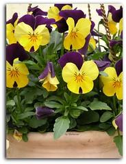 Viooltjes (Shahrazad26) Tags: spring lente printemps drenthe frhling voorjaar