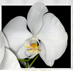 "white moth orchid  - out of frame - on Explore #270 (eagle1effi) Tags: cameraphone leica white orchid mobile zeiss nokia cellphone vivid phalaenopsis explore cc creativecommons mobilephone phal flowering gps aphrodite hybrid celly exact carlzeiss mothorchid tessar outofframe takenwith geomapped f2856 photoscape 6220c1 ""carlzeiss"" nokia6220c1 50megapixel effiframed mobilephonephone artisticframed"