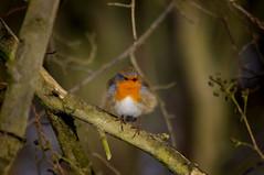 Fluffed up Robin (Chris McLoughlin) Tags: robin wildlife rspb fairburnings sigma150500mm chrismcloughlin sonya580
