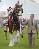 titan (jeannie Moon) Tags: horse shire harness cheshireshow