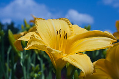Yellow Flower (photog-geek.com) Tags: flower color nature yellow garden spring josh bloom dallasarboretum