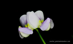 flower 10 (....~'A.r.A.f.A.t'~...) Tags: flowers beauty sylhet bangladesh arafat vegetableflower goalando