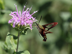 Hummingbird moth (M.D. Photos) Tags: hummingbirdmoth 070212