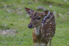 bambie #2 (Joseph Tarigan) Tags: nature pentax deer 135mm f35 k7 bambie pentaxm