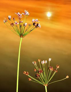 Joncs fleuris (butomes en ombelle)