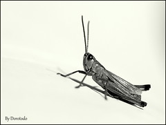 Grasshopper nr. 2 (Dorotodo) Tags: blackandwhite bw animal insect critter grasshopper schwarzweiss insekt tier grashpfer