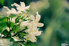 IMG_1780 (indikaparane) Tags: flowers nature kit srilanka lense 18135 araliya canon600d
