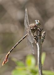 five-striped leaftail (robert salinas) Tags: dragonflies dragonfly bigma sigma odonata