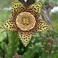Starfish Flower- Stapelia variegata (Marlis1) Tags: catalunya succulents cataluña sukkulenten carrionflower aasblume orbeavariegata marlis1 stapeliavariegata tortosacataluñaespaña