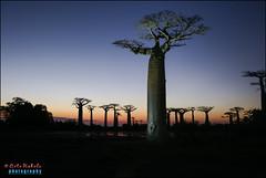 baobab avenue, menabe (hakoar) Tags: life africa road light sunset shadow portrait sky plant tree nature water landscape pattern view dusk wildlife group mg vista dirtroad endangered wilderness madagascar hdr highdynamicrange baobab silhuette grandidiersbaobab baobabavenue menabe adansoniagrandidieri