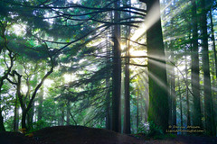 Light Rays though the Forest - Mt. Tamalpais (Darvin Atkeson) Tags: california road light sunset foothills rain fog lens coast rainforest glow pacific hiking hidden coastal coastline redwoods rays nikkor stinsonbeach lightrays ridgecrest mttamalpais 2470mm darvin atkeson liquidmoonlightcom nikond800e bolanis