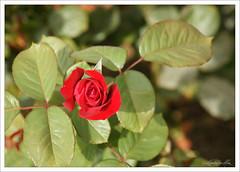 """Rosa DSC00115 (""""GALBA"""") Tags: flores planta flor jardin rosa rosas malaga rosal rosaleda jardinesdepuertaoscura jardinesdepedroluisalonso"""