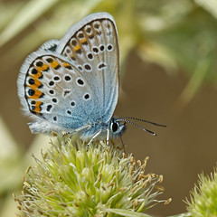 Azur de l'ajonc (Plebejus argus) Silver-studded Blue (Sinkha63) Tags: france macro male nature animal butterfly wildlife lepidoptera papillon martel lycaenidae midipyrnes plebejusargus silverstuddedblue plebeiusargus lycaeninae polyommatini rhopalocres petitargus azurdelajonc